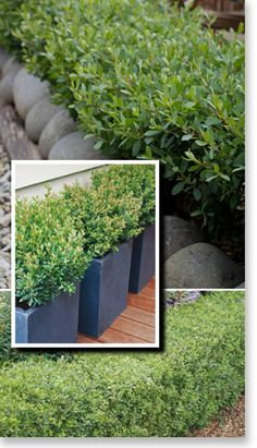 high x 100 wide. his plant is the perfective alternative to traditional English Box hedging! Pool Landscaping, Garden Hedges, Australian Native Garden, Plants, Outdoor Plants, Front Yard Garden, Backyard Landscaping, Garden Inspiration, Hedging Plants