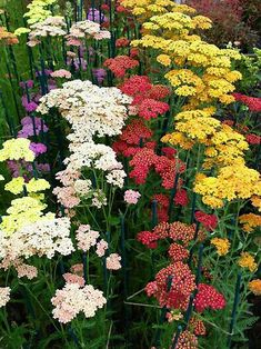 Yarrow   This perennial  grow 2 to 4 feet tall, although low-growing varieties are also available. The plants are remarkably durable, tolerating dry spells and low soil fertility where other perennials would fade. Yarrows bloom from midsummer into fall; flower colors include red, pink, salmon, yellow, and white.   Special Features Easy care/low maintenance Multiplies readily Attracts butterflies Tolerates dry soil