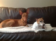 Pharaoh Hound and Jack Russell pals