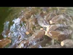 """The carp at Smith Mountain Lake, Va get feed a lot of floating fish pellets, mostly by tourists and people just """"feeding the fish"""". But carp have long memori. Carp Fishing Videos, Carp Fishing Rigs, Catfish And Carp, Common Carp, Fishing Humor, Bait, Channel, Youtube, Carp Fishing Tackle"""