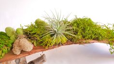 Palm Spathes Moss Art Centerpiece with Air Plant - Wabi moss
