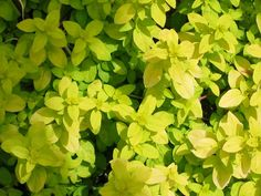 Norton's Gold Oregano.  Lime green foliage, pink flowers in summer, and likes some shade.  One of  my favorites.