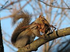 Gray squirrel gathering nesting material