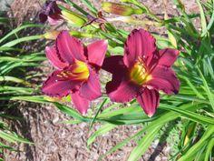 Pardon Me Day Lilies