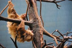Full shot of two-toed sloth at Brookfield Zoo in Chicago