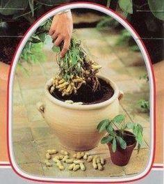 ¡Cultiva cacahuetes en una maceta de tu casa!