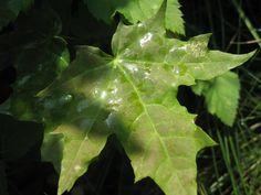 Leaf of the Dog´s wine