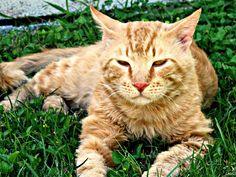 "My Big Cat Rudy by Michaline ""Adela"" Bak on 500px"