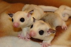 Platinum Sugar Gliders