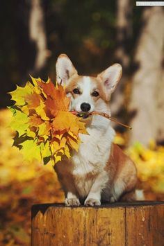 Dogs wallpaper corgi ideas for 2020 Cute Corgi, Corgi Dog, Cute Puppies, Dogs And Puppies, Dog Cat, Cute Baby Animals, Animals And Pets, Funny Animals, Sweet Dogs