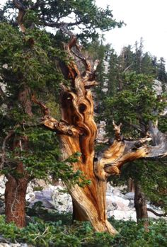 The oldest trees in the world. Bristle Cone Pine at Great Basin National Park. [Great Basin National Park is a United States National Park located in White Pine County in east-central Nevada, near the Utah border. The park was established in Beautiful World, Beautiful Places, Beautiful Pictures, Mother Earth, Mother Nature, Great Basin, Unique Trees, Old Trees, Bizarre