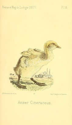 Greylag Goose - high resolution image from old book. Old Book Pages, Art Pages, Vintage Art, Vintage World Maps, Flower Collage, Engraving Illustration, Art Clipart, Plant Wall, Picture Collection