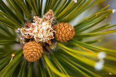 Pine Cones. Crimea, Ukraine.