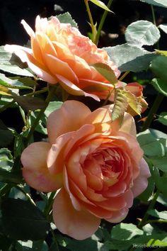 English Rose-Austin, 'Lady Shalott', Austin 2009                                                                                                                                                                                 More