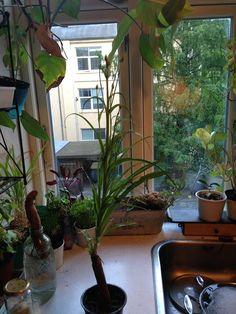 Persille Ingerslev har delt Persilles hjemmedyrks billede. 31. januar kl. 20:55 For tiden kan man købe scorzonerrødder. Jeg stak en af dem ned i en alt for lille urtepotte i sommers, og se hvad der kom ud af den. Bladene er spiselige og blomsterne er gule og pæne.