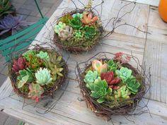Succulent in bird nests - Cute!