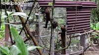 """""""O GRITO DO BICHO"""": Macacos-bugios criaram comunidade para voltar à Fl..."""