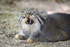 Pallas cat looking angry (by Tambako the Jaguar)