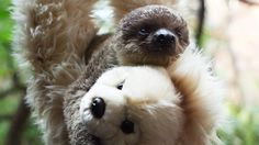 Baby sloth nursed with teddy by London zookeeper - video | World news | The Guardian