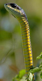 Dispholidus typus (Boomslang, Green/Brown/Black or Cape Back-fanged Tree-Snake) highly venomous