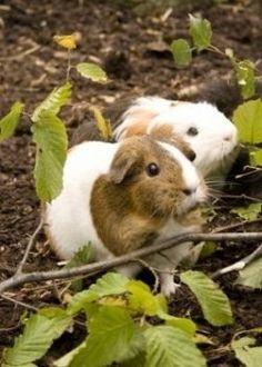 Common Guinea Pig Ailments