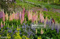 Image result for Lupinus inverewe