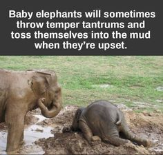Who knew baby elephants have temper tantrums too Reminds me of when my son had his silent epic meltdowns and I documented them over in thanks CA Vulliamy Funny Animal Pictures, Cute Funny Animals, Cute Baby Animals, Animals And Pets, Wild Animals, Elephant Facts, Elephant Love, Funny Elephant, Indian Elephant