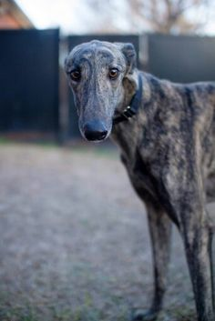 Look at that face! That's all Ruffles. He can go home now! http://www.galtx.org/hounds/ruffles.shtml