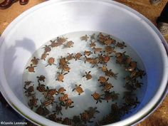 A lot of turtles. In a bowl. And when they get big, the bowl will be an ocean.