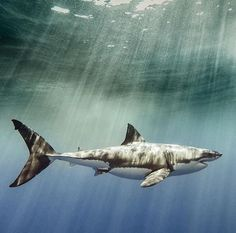 Whiteshark Beneath The surface