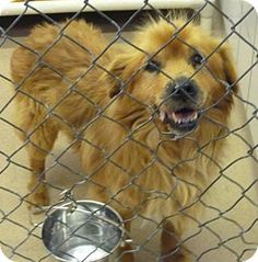 Zanesville, OH - Chow Chow Mix. Meet 41789 Oscar (mini sized), a dog for adoption. http://www.adoptapet.com/pet/12829906-zanesville-ohio-chow-chow-mix