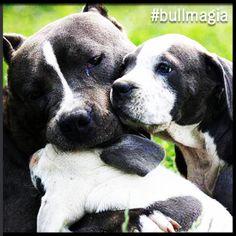 #bullmagia #americanstaffordshire
