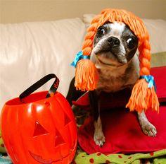 http://ift.tt/2wo4c1y Boston Terrier Halloween. [1024x1010]