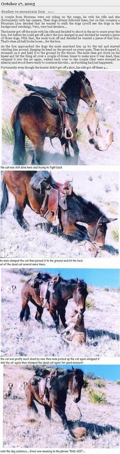 This is a rather crazy story about a mule protecting it's riders.
