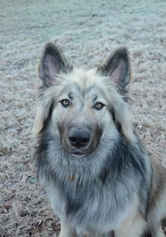 Image result for american indian dog (I was not aware of this breed)