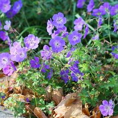 Geranium Rozanne  Zone 5-9 There are lots of garden-worthy perennial geraniums, but 'Rozanne' is one of the best. This top-notch perennial blooms from June to frost, producing a nearly endless supply of sky blue flowers.