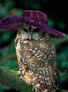 another owl-in-a-hat