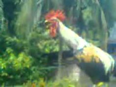 Another laughing rooster (Indonesian: Ayam Ketawa). This is not a good video but very funny.