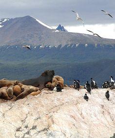 Seals and penguins enjoying the Beagle Channel (Focas y pinguinos disfrutando del Canal de Beagle)   Tierra del Fuego   Argentina