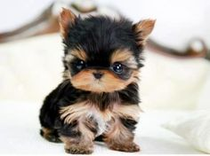 Want this teacup pup ♥