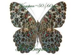 Nymphalidae : Hamadryas chloe daphnis set 2 - The Bugmaniac INSECTS FOR SALE BUTTERFLIES FOR SALE INSECTS FOR SALE BUTTERFLIES FOR SALE BUTTERFLIES BY ECOZONE NEOTROPICAL ECOZONE NYMPHALIDAE