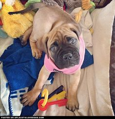 Bull Mastiff Puppy • APlaceToLoveDogs.com • dog dogs puppy puppies cute doggy doggies adorable funny fun silly photography @oliveformymartini