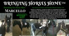 NetPosse™ Searching for Horse Alert for 'Marcello' NR002232– Cochranville (Chester County), PA: I leased my horse to a neighbor's daughter in March 2012. The verbal agreement was for the family to return the horse at the end of the girl's senior year, which was the next spring. I attempted to contact my friend and the family when the agreed upon time arrived, but to no avail. #HelpFindMarcello #Missing #SearchingForHorse #NetPosse™ #BringingHorsesHome™ #NeverGiveUp #StolenHorseInternational™