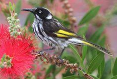 NEW HOLLAND HONEY EATER..male common south-east Australia
