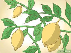 How to Prune a Lemon Tree. Lemon trees come in all sizes. They range from the dwarf lemon tree, which can grow 2 to 8 feet to m), to standard trees that can reach 15 feet m) or higher. The Meyer lemon can be grown in a pot. Fruit Garden, Edible Garden, Vegetable Garden, Garden Plants, Indoor Garden, Pruning Fruit Trees, Tree Pruning, Citrus Trees, Gardens