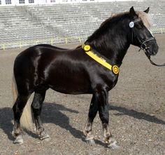 Black Forest Horse stallion Rubin