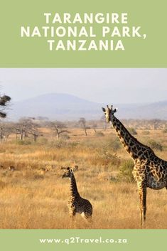 Famous for its huge number of elephants, thousands of baobab trees and tree climbing African pythons, Tarangire may be relatively small in size sq km) but has some of the greatest concentrations of game in Tanzania second only to Ngorongoro Crater Scavenger Birds, Masai Giraffe, Safari Holidays, Baobab Tree, Different Birds, Camping Holiday, Rare Species, Travel Expert, Tanzania