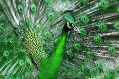 Animal Peacock  Wallpaper Peacock Images, Peacock Pictures, Peacock Wallpaper, Green Wallpaper, Animals Images, Animals And Pets, Peacock Bird, Green Peacock, Green Animals