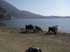 #paragliding #goat #podróże #Pokhara #paralotnia #koza