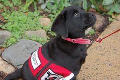 Service Dog Training, Best Dog Training, Service Dogs, Training Tips, Potty Training, Anaconda Attack, Service Dog Patches, New Funny Videos, Dog Potty